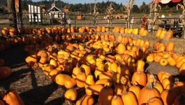 Pumpkins at Sweet Oregon Berry Co